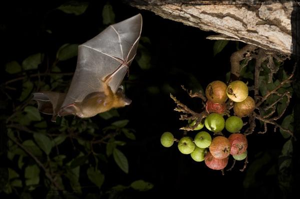 Fruit Bat - Natasha Mhatre